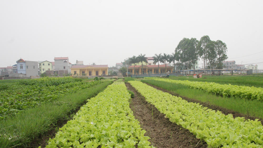 Mỗi ha rau thu hơn 200 triệu đồng