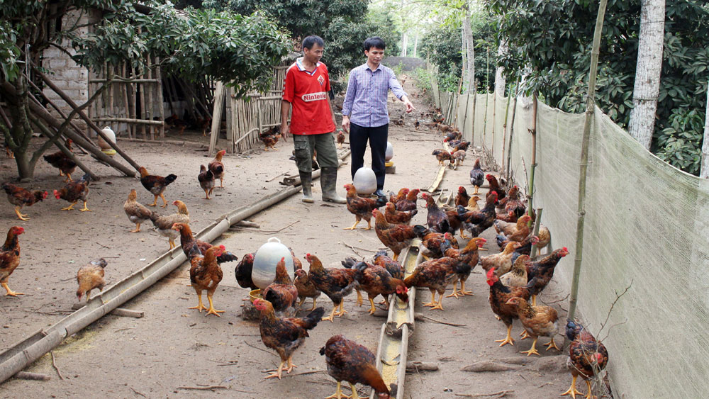 Yen The develops hill chicken under value chain