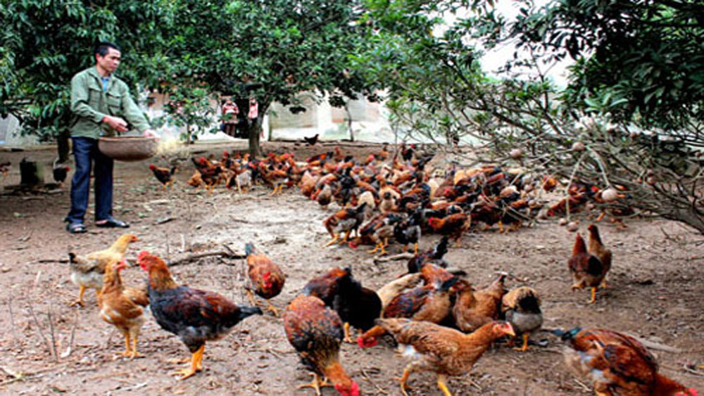 Parent chickens provided to Yen The breeding households