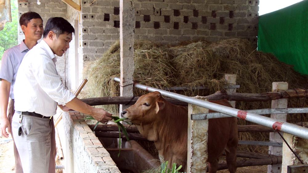 Hỗ trợ nông dân cải tạo đàn bò