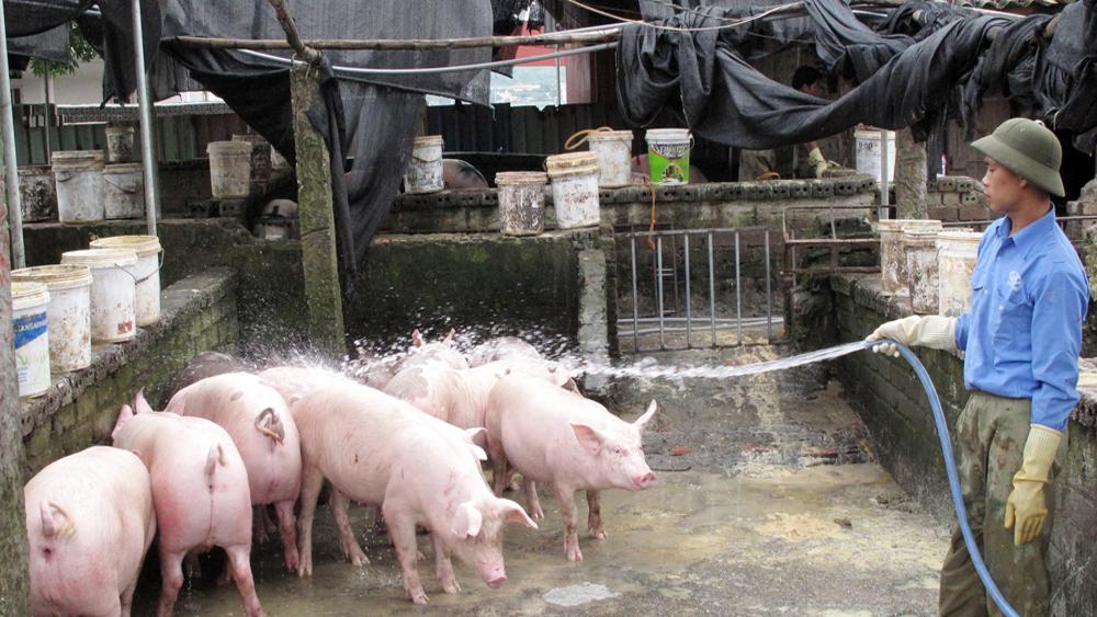 Giá lợn hơi cao nhất trong gần hai năm qua