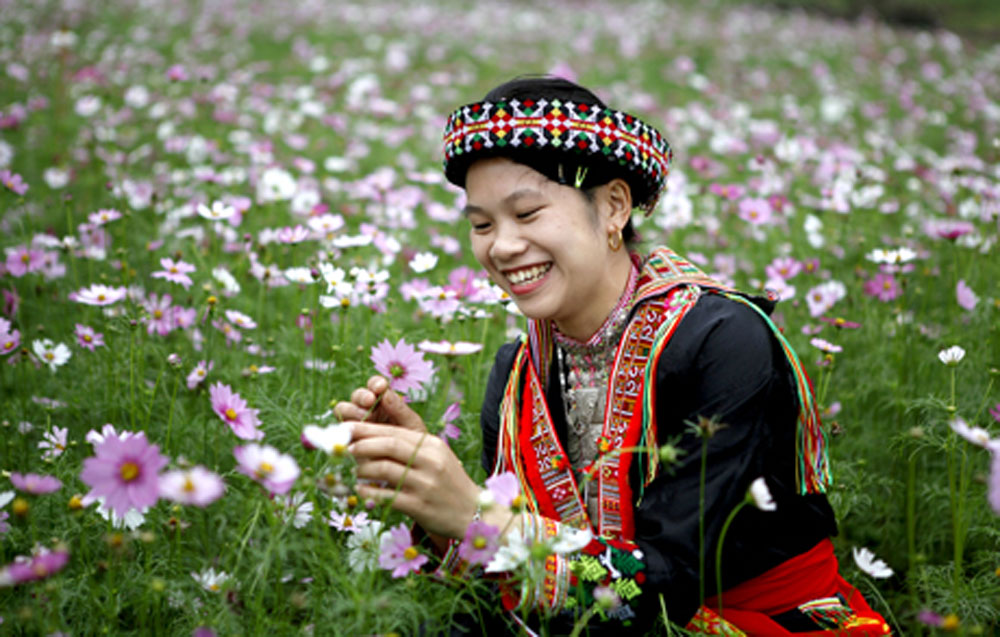 Pinky cosmos flowers, mountainous province, Yen Bai province, fragile beauty, local growers, new tourism product