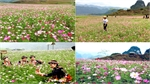 Pinky cosmos flowers woo visitors to mountainous province