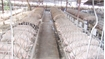 Bac Giang implements disease-free breeding project