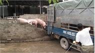 Giá lợn hơi tăng nhanh