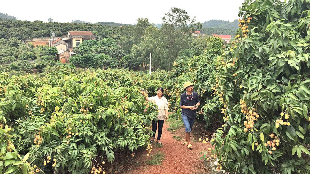 Vải sớm Tân Yên vào vụ thu hoạch