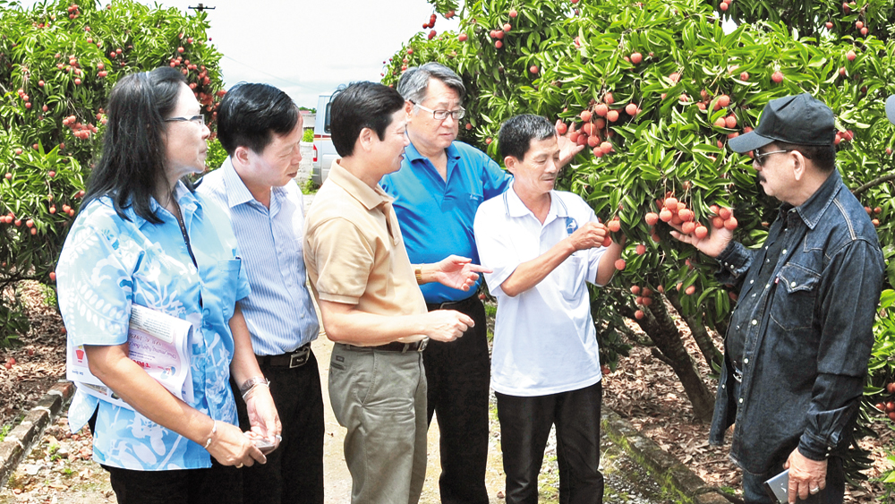 Making distinction with tour of lychee season