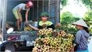 Bắc Giang: Giá vải sớm phổ biến ở mức từ 20 đến 30 nghìn đồng/kg