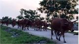 """Đàn bò """"đông như kiến"""" trên đê Sông Thương"""