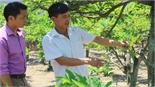 Thu hoạch na dai sẽ muộn hơn khoảng 15-20 ngày so với năm trước