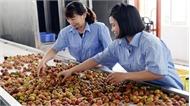 Doanh nghiệp tham gia  tiêu thụ vải thiều