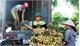 UBND tỉnh Bắc Giang thông tin chính thức về tình hình sản xuất, tiêu thụ vải thiều