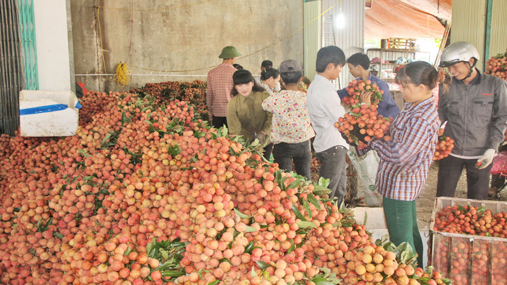 Bac Giang lychee sold out at about 20,000 VND per kilogram