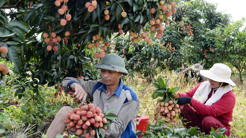 Retailers, exporters active in distributing lychee