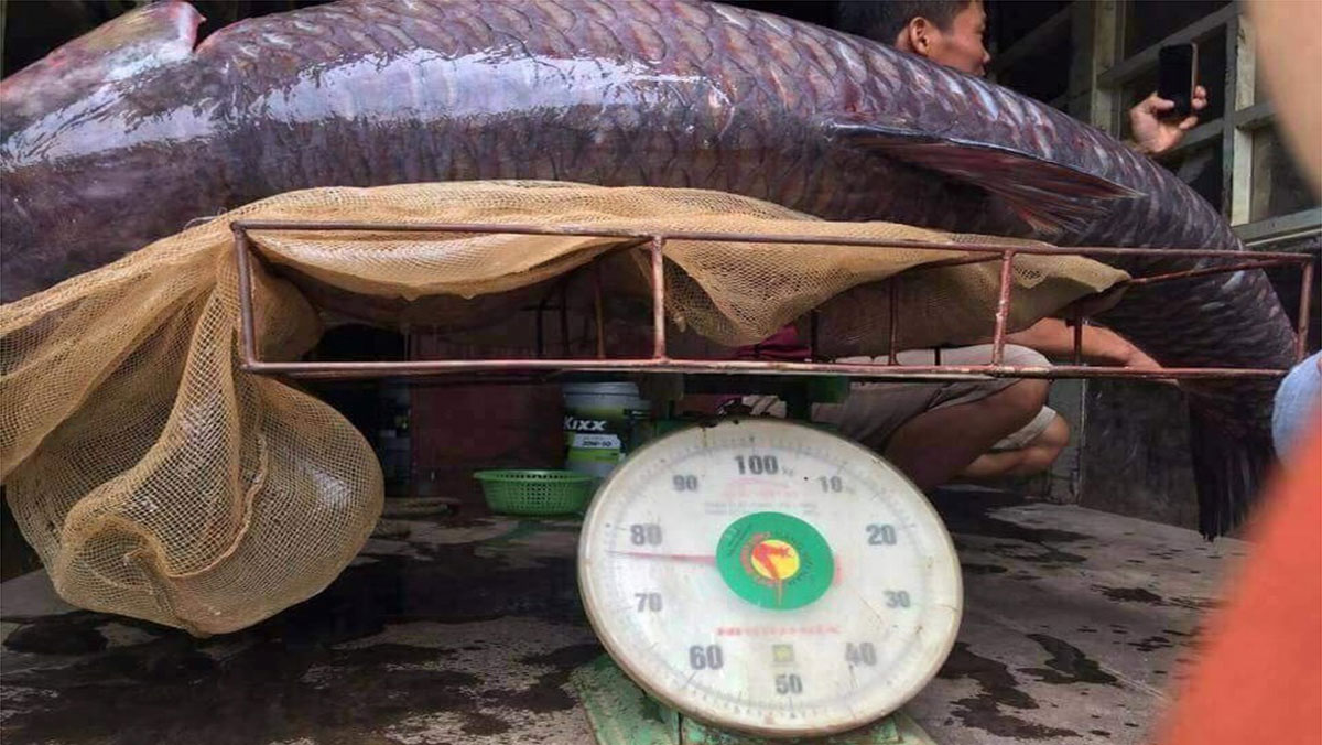 Cá trắm đen hơn 70kg, dân bắt được ở hồ Thác Bà