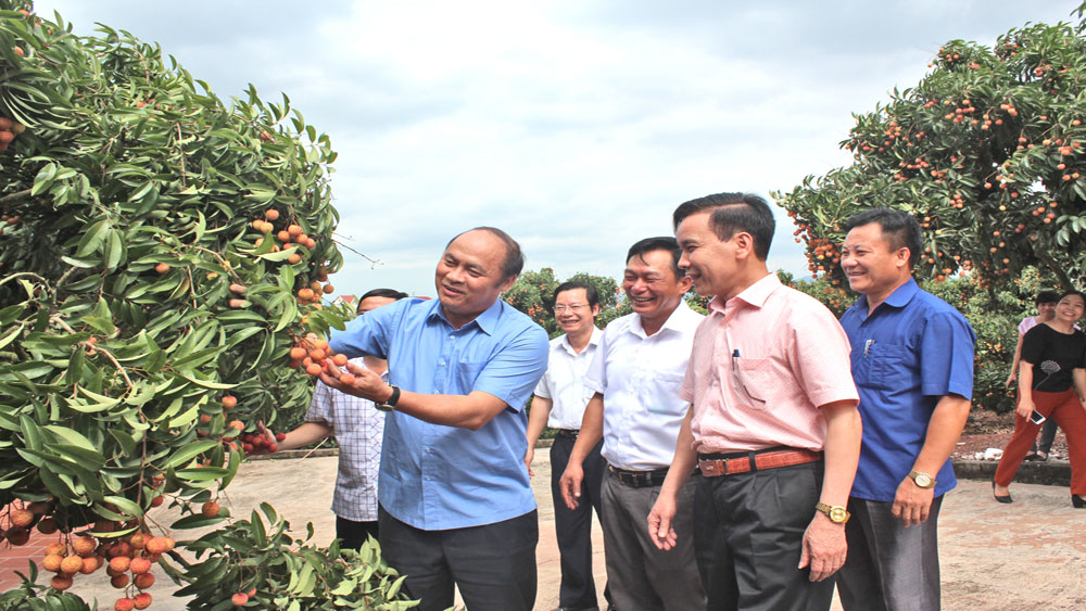 Bac Giang focuses on caring and consuming lychee