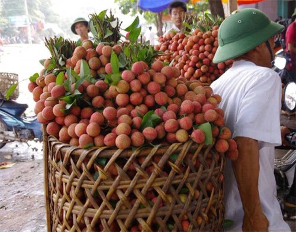 Lychee farming hubs, main crop, Bac Giang and Hai Duong provinces, lychee growing areas, highest volume, VietGAP, GlobalGAP standards, QR codes