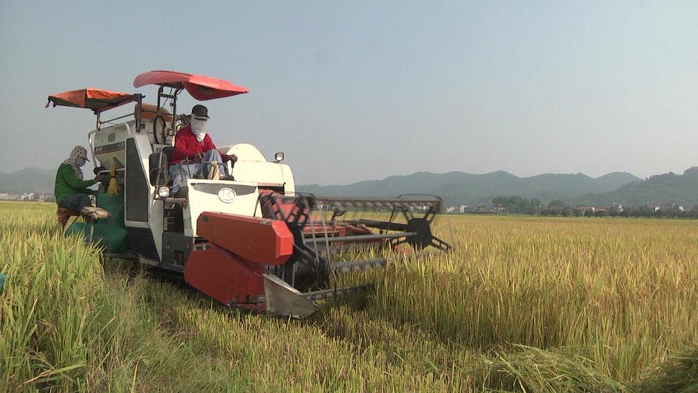 Yên Dũng tập trung thu hoạch lúa chiêm xuân