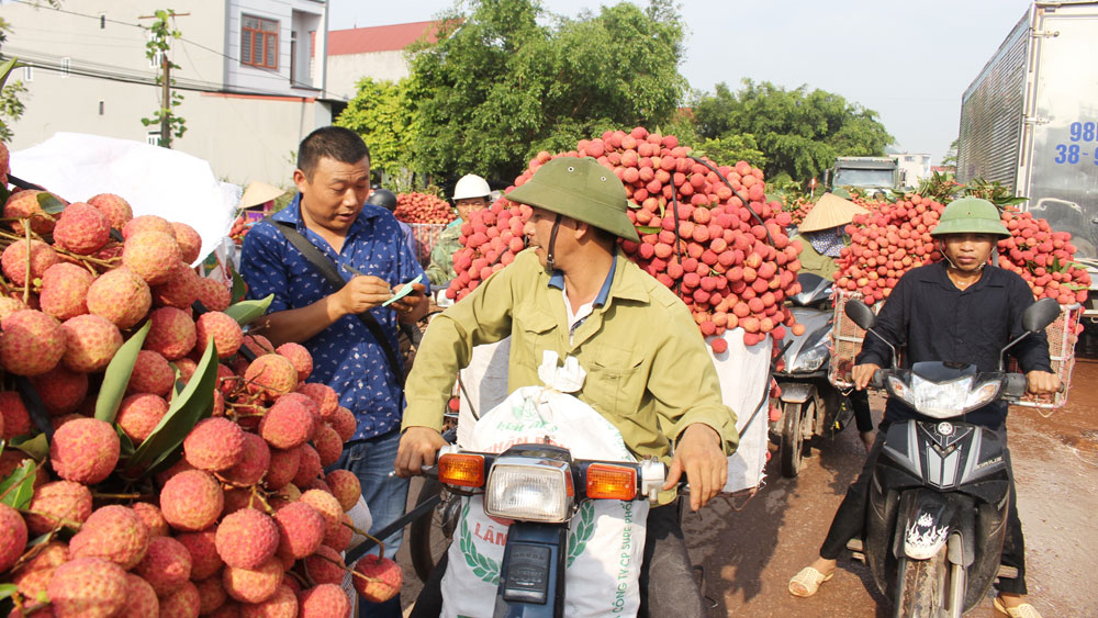 Bac Giang lychees, peak harvest season, early ripen lychee, start period, main harvest crop, Luc Ngan district, Bac Giang province, favorable condition