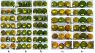 Màng bảo quản giúp trái cây tươi từ bột sắn và nano bạc