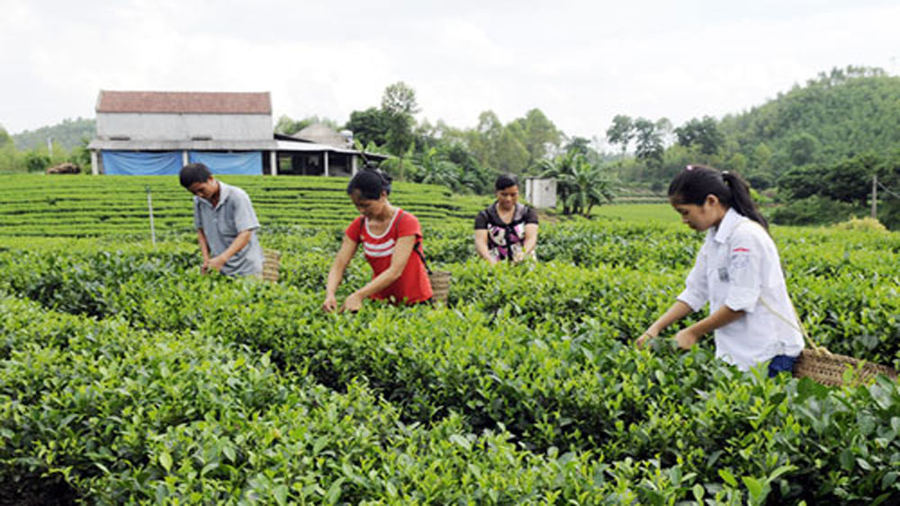 Xuan Luong becomes green with tea fields