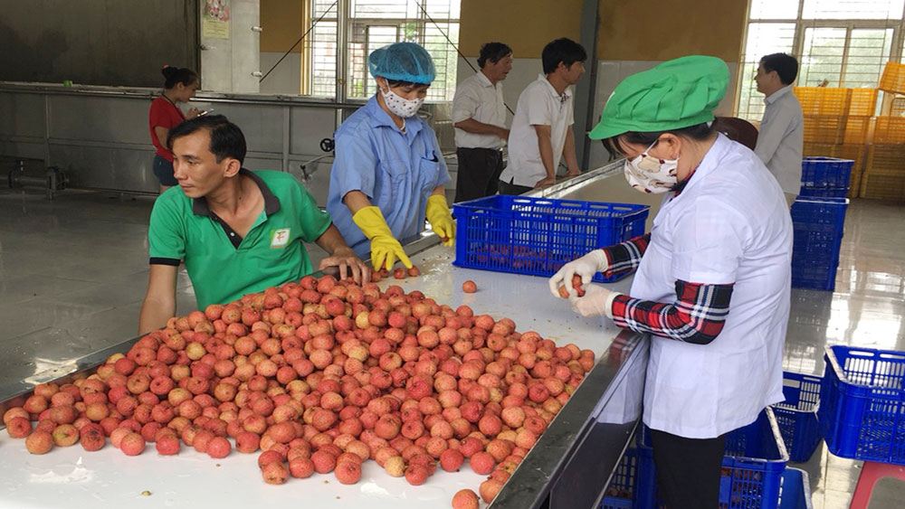 Bac Giang lychee offered to USA and Netherlands