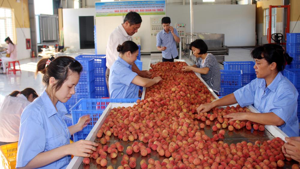 Lục Ngạn: Thu hoạch hơn 54 nghìn tấn vải
