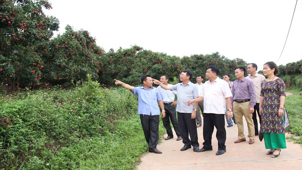 Bac Giang studies tours to lychee orchards