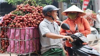 Vải thiều Lục Ngạn tăng giá mạnh, tiêu thụ thuận lợi