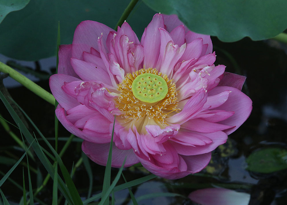 heady fragrance brews, lotuses bloom, Hanoi, best lotus tea, West Lake area, famous lotus tea, large aromatic blossoms, Bach Diep