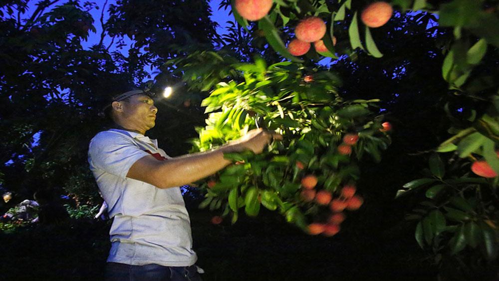 Người dân Lục Ngạn chong đèn thu hoạch vải