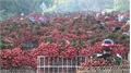 Lục Ngạn ngập tràn sắc đỏ vải thiều