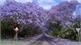 Ngắm hoa phượng tím khi xuân về ở Nam bán cầu