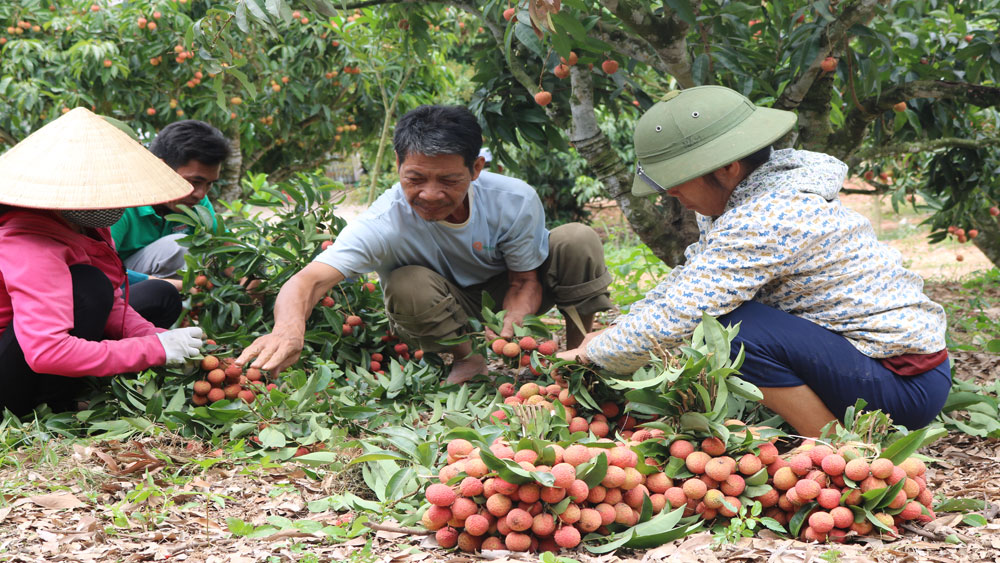 Bac Giang lychees exported to Russia and Japan