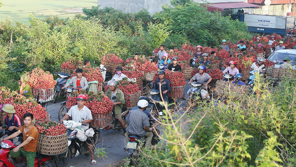 Northern Vietnam, a luscious lychee shine, Bac Giang province, Luc Ngan district, major lychee producing area, lychee season