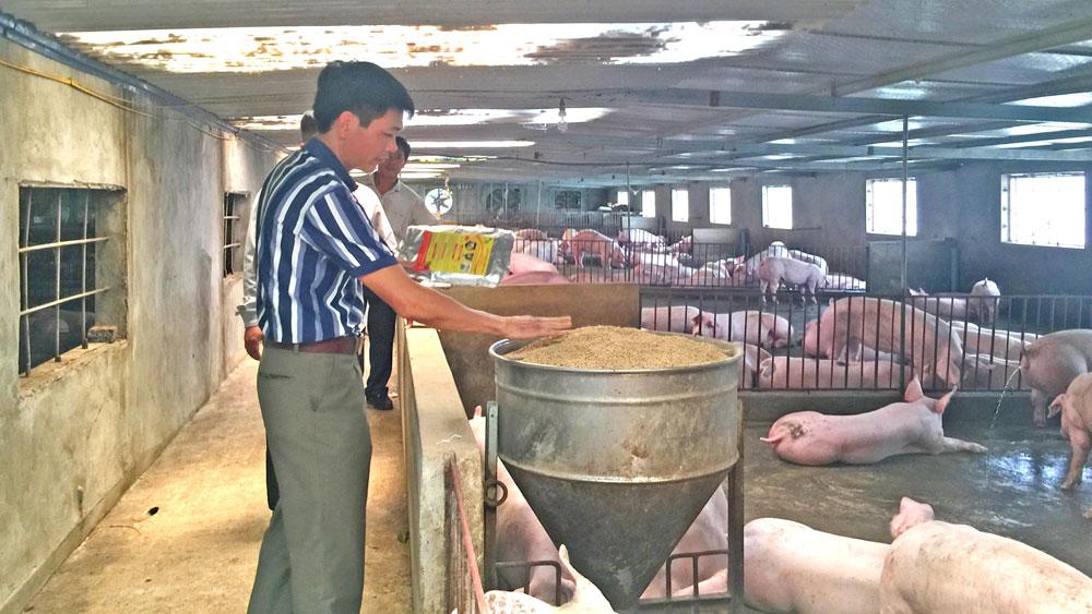 Lợn sạch bệnh, lớn nhanh nhờ chế phẩm sinh học