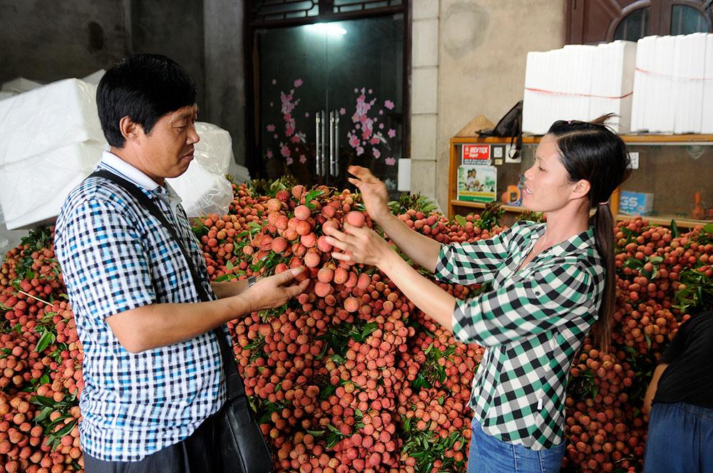 Nhộn nhịp mùa vải, Lục Ngạn, Tân Yên, VietGAP, GlobalGAP