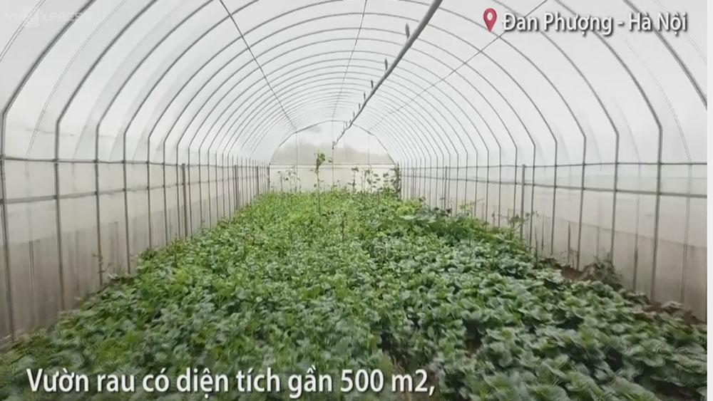 Trồng rau mồng tơi lá khổng lồ thu chục triệu đồng mỗi tháng