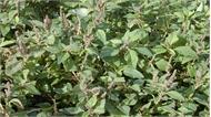 Nhà khoa học Việt tìm ra chất chống ung thư từ rau dền