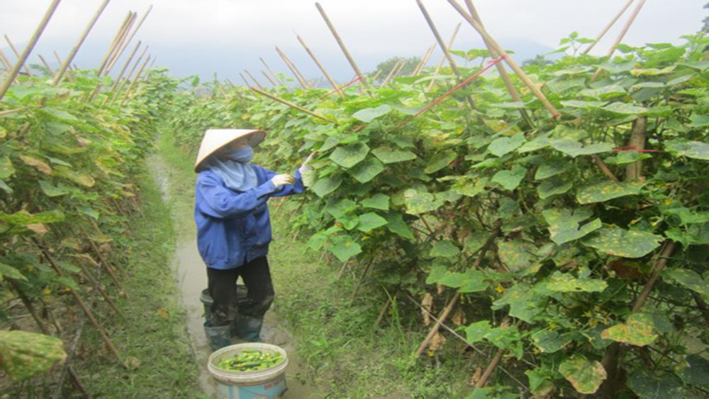 Giá trị sản xuất rau chế biến đạt từ 155-170 triệu đồng/ha
