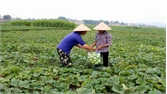 Tổ chức sản xuất 7 cánh đồng mẫu vụ mùa