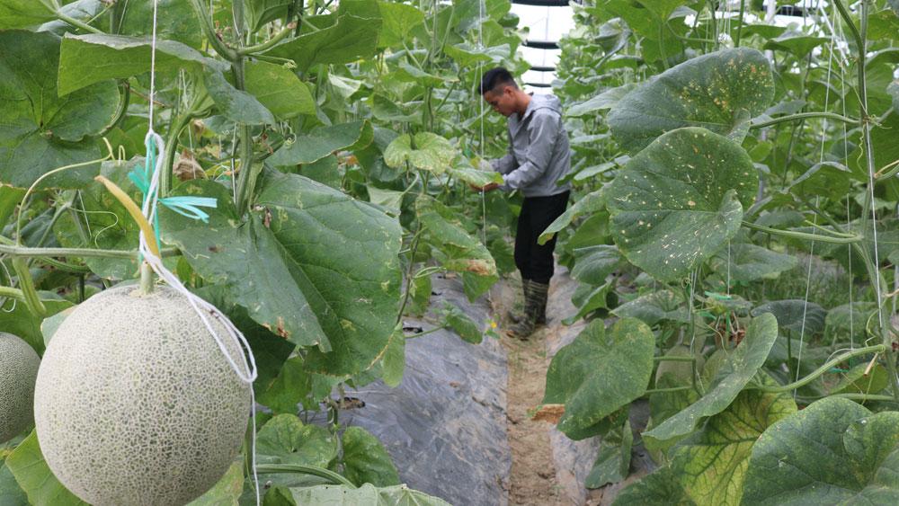 Năng suất dưa lưới Nhật Bản ước đạt 30 tấn/ha