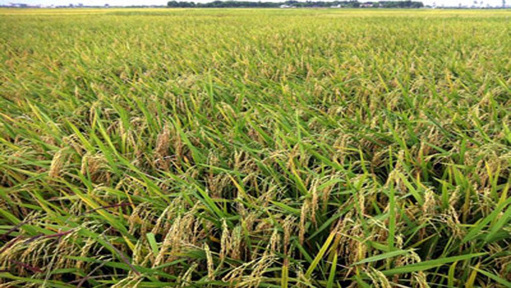 Trợ giá 10 nghìn đồng/kg giống lúa Khang dân 18 SNC, Thiên ưu 8