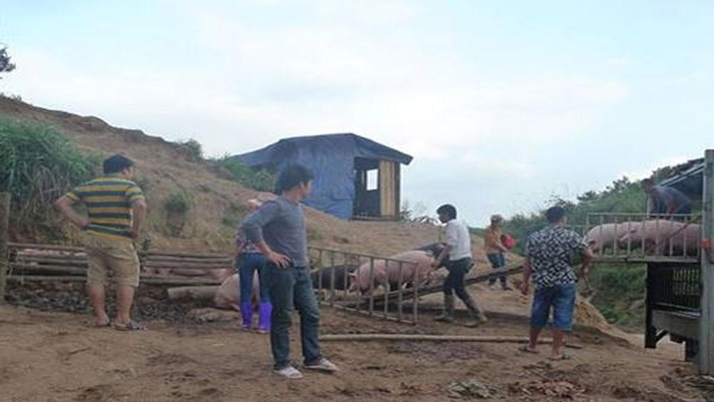 Lợn Trung Quốc nhập lậu vào Lạng Sơn