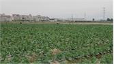 Hỗ trợ mở rộng vùng sản xuất rau an toàn
