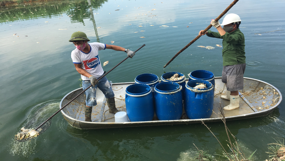 Cá chết, hàng loạt, thôn Dục Quang, thị trấn, Bích Động