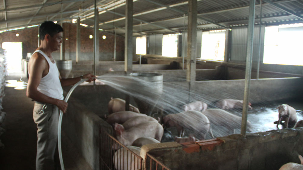 Nuôi lợn thương phẩm thu gần 1 tỷ đồng mỗi năm