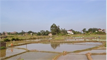 Tân Yên: Cơ bản hoàn thành gieo cấy lúa mùa