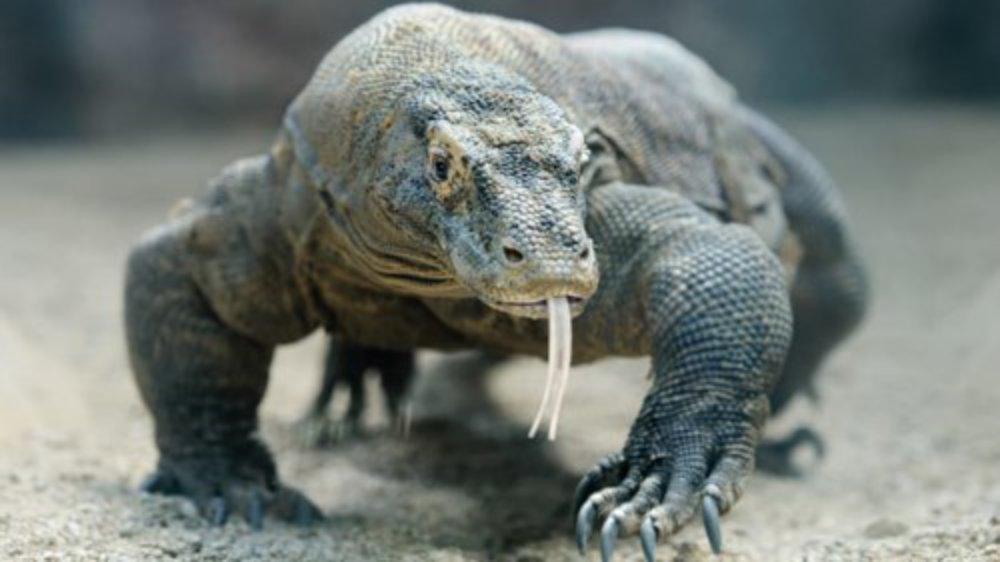 Những tuyến bay mới mở đã khiến vườn quốc gia Komodo trở nên dễ tiếp cận hơn đối với du khách từ khắp nơi trên thế giới. Tại đây, bạn sẽ tìm thấy rồng Komodo, loài thằn lằn lớn nhất trên thế giới.
