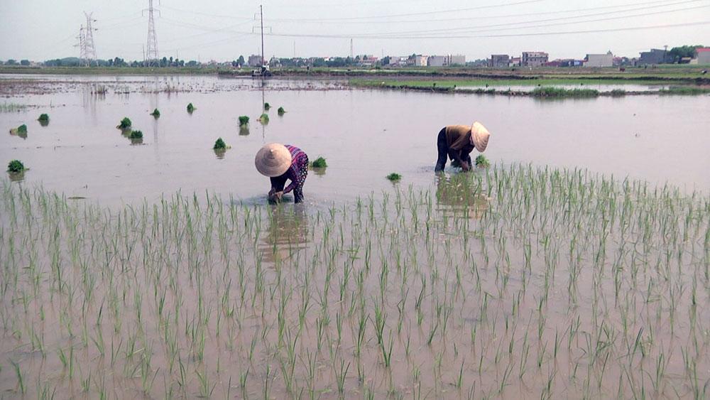 Tiến độ gieo cấy lúa mùa chậm do ảnh hưởng của thời tiết